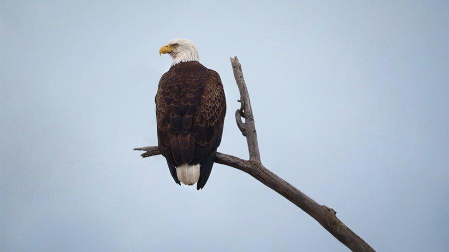 Mature Bald Eagle on a Tree estee white photography