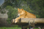 wildlife Lioness estee white photography