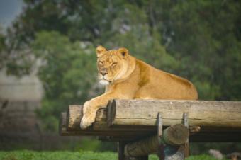 wildlife Lioness estee white photography