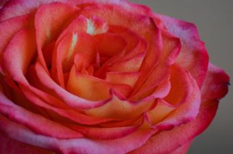 yellow pink rose closeup