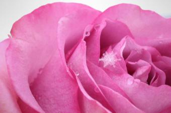 macro snowflake snow rose photography