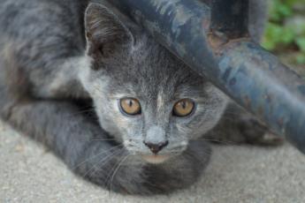 grey kitten eyes closeup