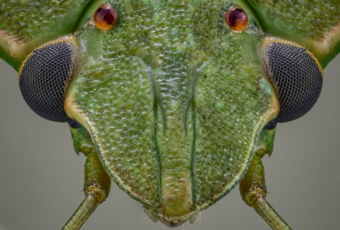 green stinkbug eyes macro micro microscope objective focus stack