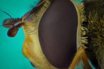 hoverfly hover fly eye macro micro microscope objective focus stack