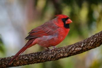 red male cardinal bird closeup