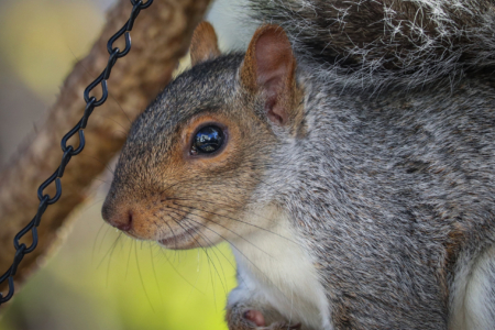 Eastern Grey squirrel super close eye reflection