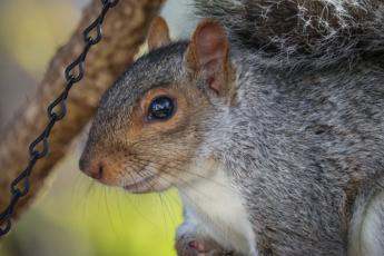 Eastern Grey squirrel super close eye reflection